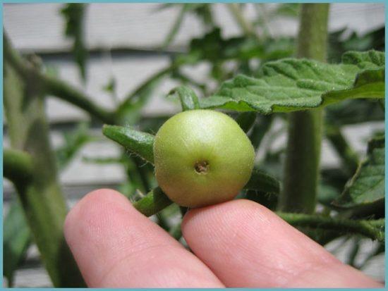 причины вершинной гнили томатов