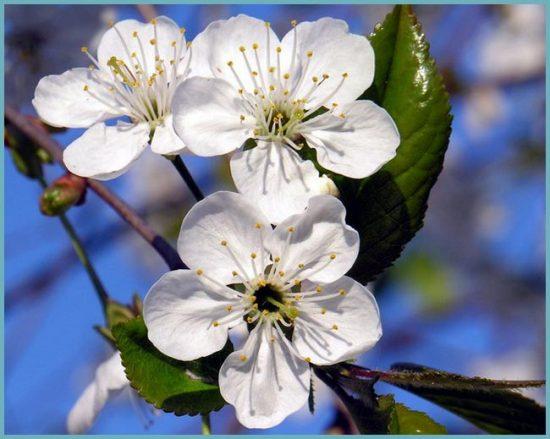 почему вишня не цветет