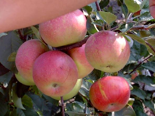 путешествуешь, картинки сорта яблок джонатан японцы этой