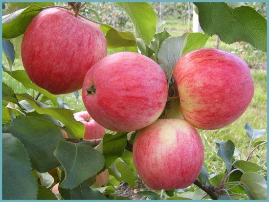уход за яблоней Конфетное