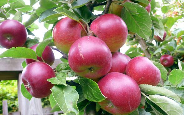 Сорт яблони Коваленковское