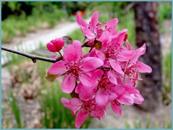 уход за декоративной яблоней
