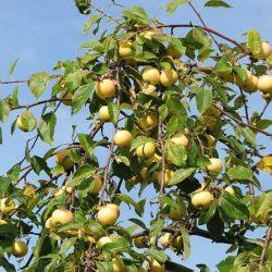 Сорт яблони Уральское наливное