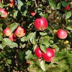 Сорт яблони Звездочка