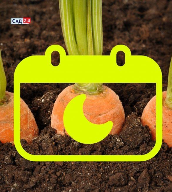 Когда лучше сажать морковь