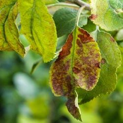 пятна на листьях яблони