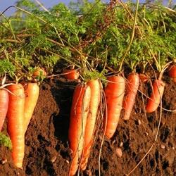 морковь роте ризен красный великан