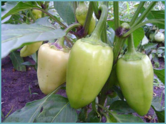 как посадить перец