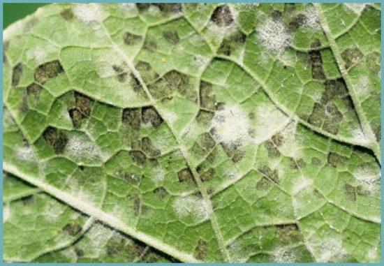 болезни овощных культур
