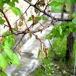 сохнут ветви абрикоса
