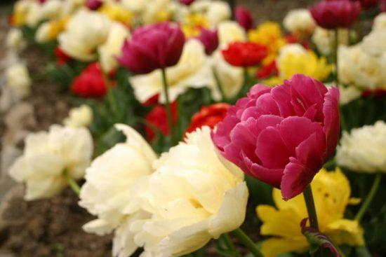 тюльпаны сорта