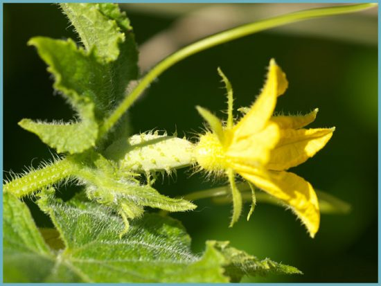 выращивание огурца