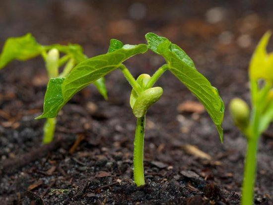 фасоль московская белая зеленостручная