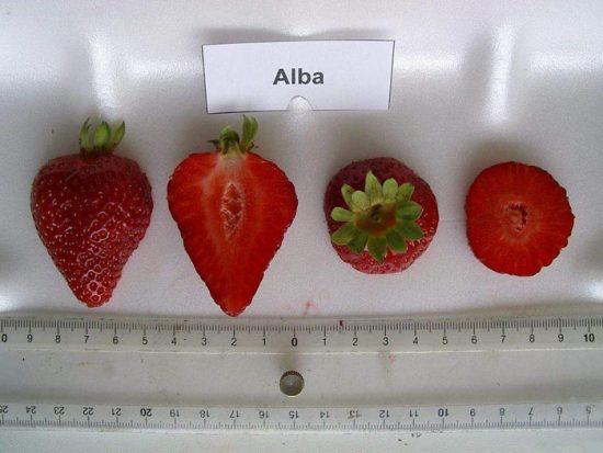клубника альба