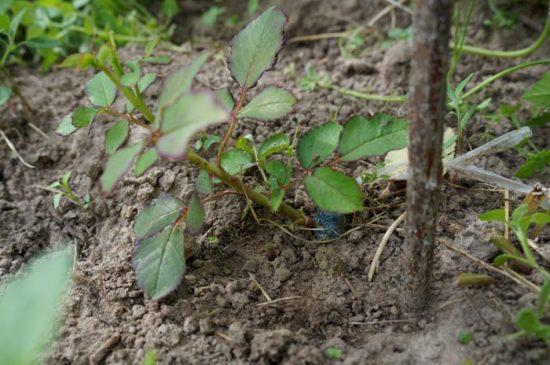 прививка роз на шиповник весной