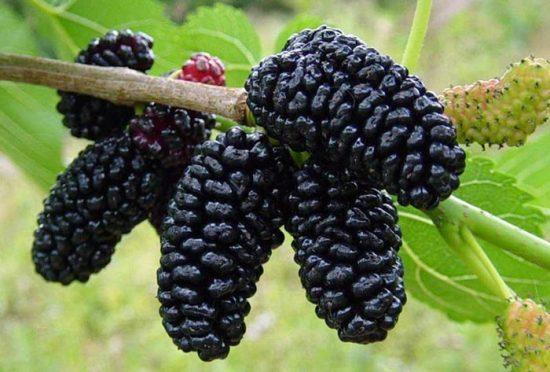 шелковица черная баронесса