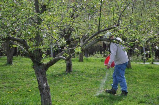 чем подкармливать грушу и яблоню