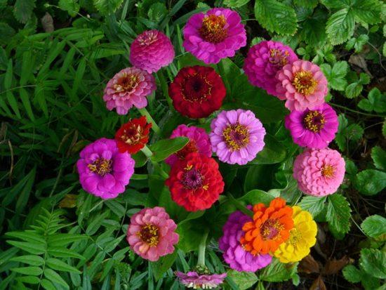 цинния георгиноцветковая