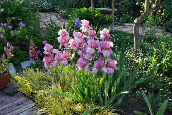 ирисы в ландшафтном дизайне сада