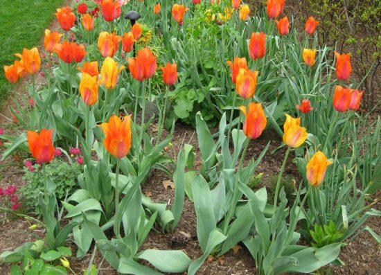 когда можно пересадить тюльпаны