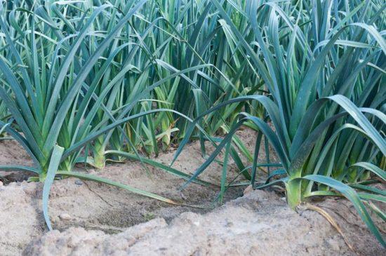 лук порей выращивание и уход в сибири