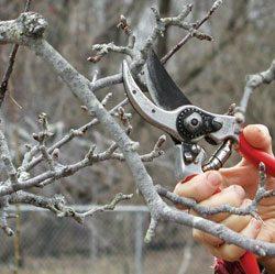 можно ли обрезать яблони в мае