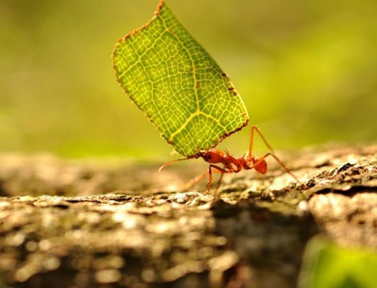 муравьи на черешне как бороться