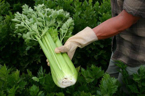 сельдерей черешковый выращивание и уход