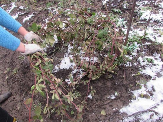 укрытие ежевики на зиму