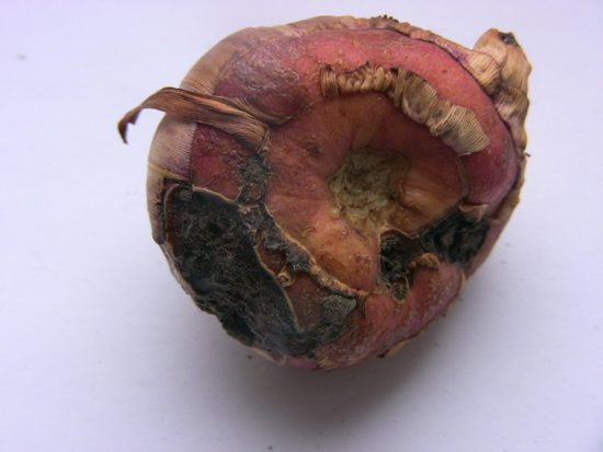 болезни гладиолусов фото и их лечение