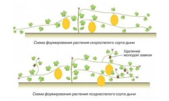 как прищипывать арбузы и дыни схема