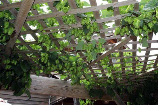 как вырастить хмель на даче