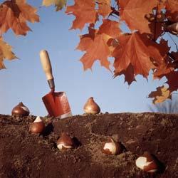 когда осенью сажают тюльпаны