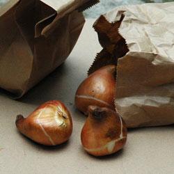 когда выкапывают луковицы тюльпанов