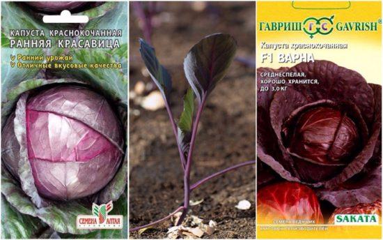 краснокочанная капуста выращивание и уход