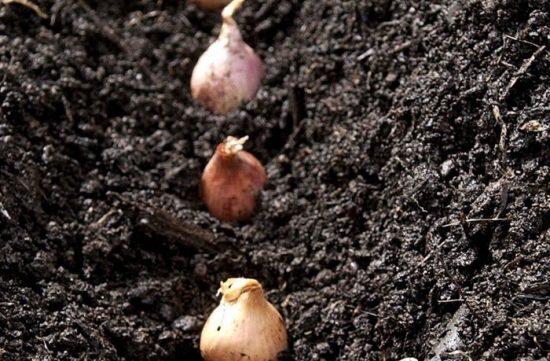 лук шалот выращивание и уход