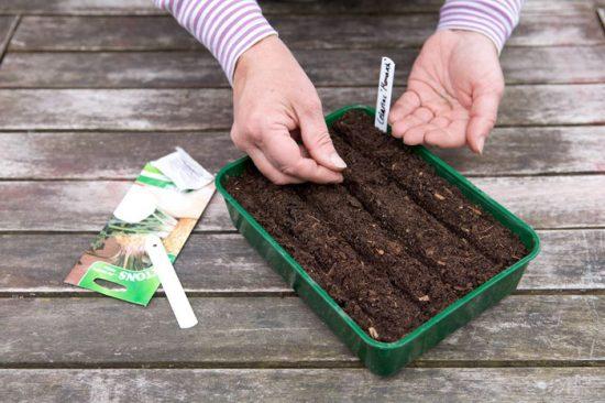 посев корневого сельдерея на рассаду