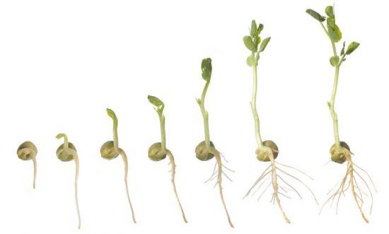 проращивание семян гороха