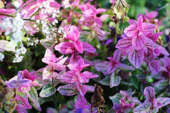 сальвия сорта фото цветов