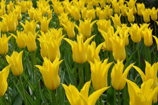 сорта тюльпанов фото и названия