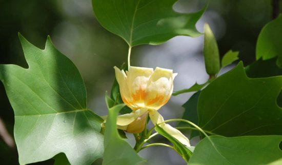 тюльпанное дерево магнолия