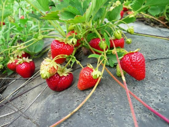 выращивание клубники по финской технологии