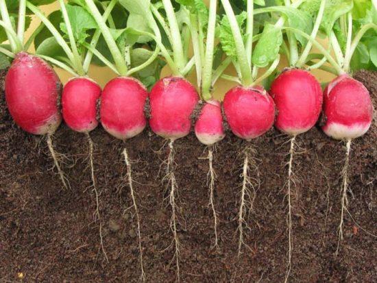 выращивание редиса в теплице зимой