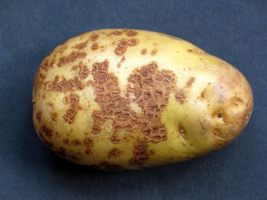 болезни картофеля фото описание и лечение