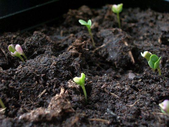 брокколи выращивание и уход в открытом грунте