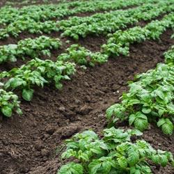 чем подкормить картофель после посадки