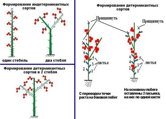 формирование томатов в 2 стебля