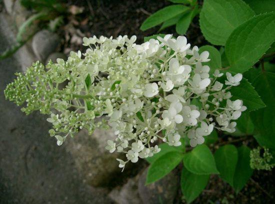 гортензия грандифлора