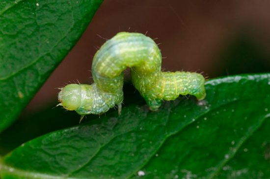 как бороться с гусеницами на яблоне
