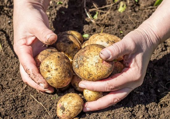 как быстро прорастить картофель для посадки